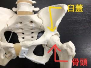 骨盤模型 臼蓋 骨頭