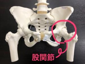 骨盤模型 股関節